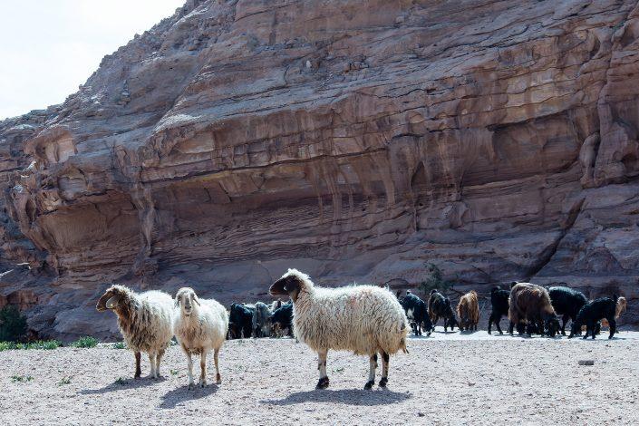 Sheeps, Petra, Jordan