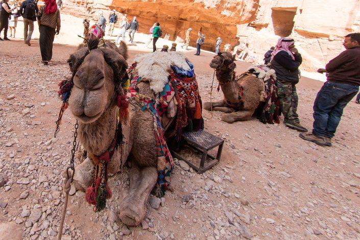 Camels, Petra, Jordan